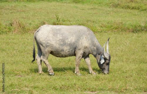 Aluminium Buffel buffalo feeding in paddle field