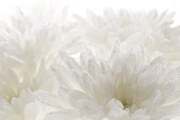 White fresh beautiful chrysanthemums abstract background