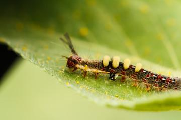 Caterpillar on sunflower