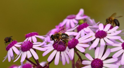 """Bees and fly on wild flowers """"pericallis webbii"""""""