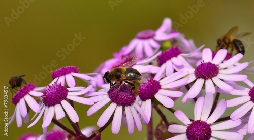 Staande foto Bee Bees and fly on wild flowers