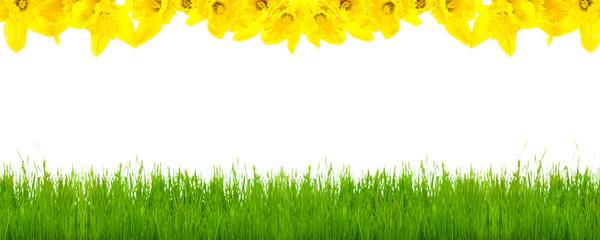 Frühlingswiese, Osterglocken, Hintergrund