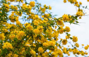 Ranunkelstrauch, Goldröschen, Frühling