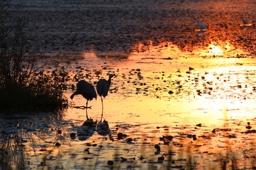 Two herons in the lake