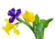 spring narcissus and irise