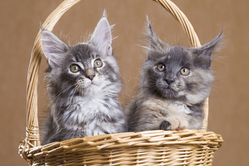 two Maine Coon kitten in a basket
