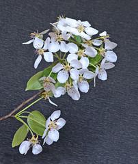 Flowering pear tree branch