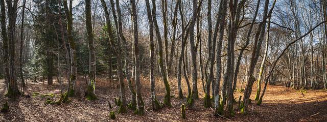 forêt panoramique