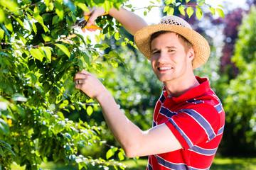 Mann schneidet Obstbaum im Garten