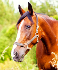 Portrait of a light brown horse in the grass