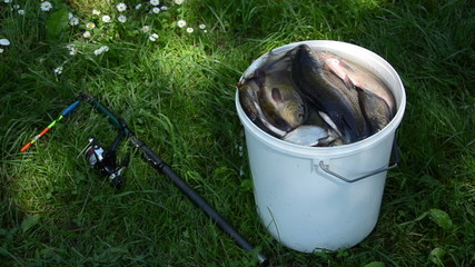 big white bucket many fish the rod lying in the grass