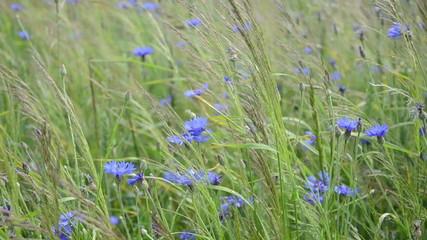 natural blue wild cornflowers bluet flowers meadow in wind