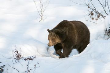 Europäische Braunbär, Eurasian brown bear, Ursus arctos