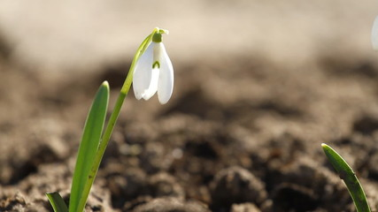 White snowdrop flowers in springtime