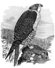 Bird : Falcon - Faucon - Falken