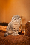 Lovable Scottish fold cat playing  poster