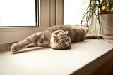 Lovable scottish fold cat lying on her back poster