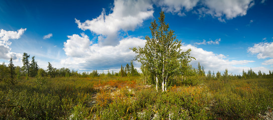 panorama of the northern landscape with birch