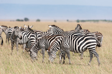 Zebra in the Savanna of Kenya