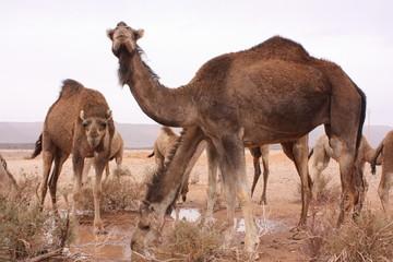 Maroc, chameaux 3