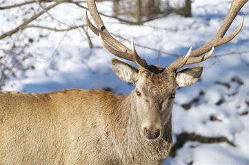 Hirschporträt im Winter