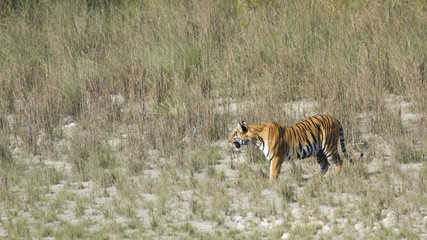Wild tiger in Bardia, Nepal