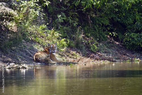 Papiers peints Tigre Wild Bengal tiger in Bardia, Nepal