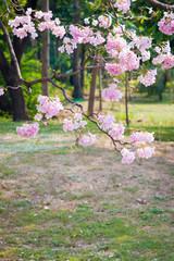 Pink Trumpet