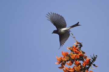 White-bellied drongo in flight in Bardia, Nepal
