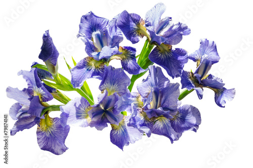 Foto op Canvas Iris Bouquet blueflag or iris flower Isolated on white background