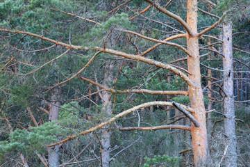 Bosque de Pino Albar. Pinus sylvestris. La Cabrera, León.
