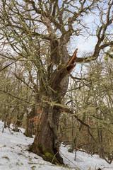 Roble de gran tamaño. Quercus. Sierra de Mampodre, Boñar, León.