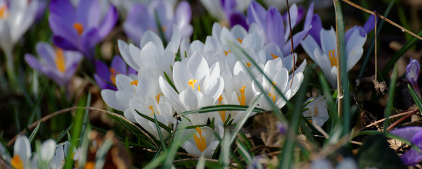 Fiori di primavera, crocus