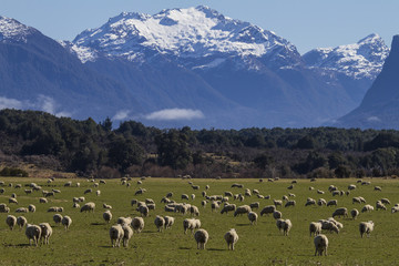 Lambs in New Zealand