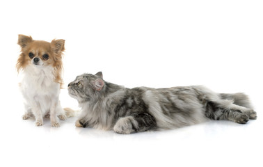 maine coon cat andchihuahua