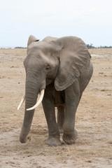 Eléphant d'Afrique de face