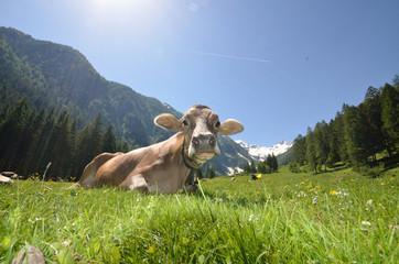 mucca e montagna