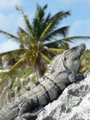 Iguana in Maya Ruinas