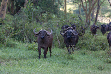 Wild African Buffalos. Kenya, Africa