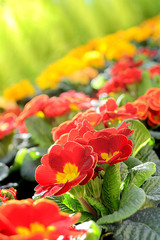 Gartenprimeln