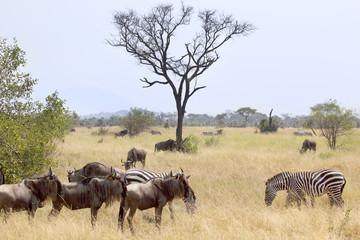 Blue wildebeests and common zebras