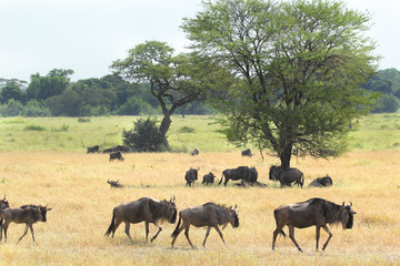 Group of blue wildebeests in the savannah