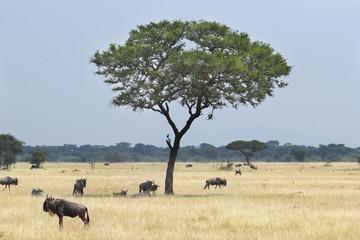 Blue wildebeests grazing around a tree