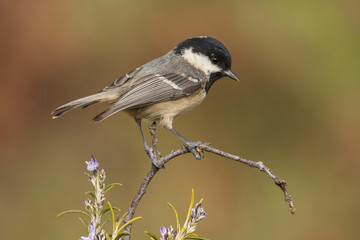 Coal tit (Parus ater) perched on a branch
