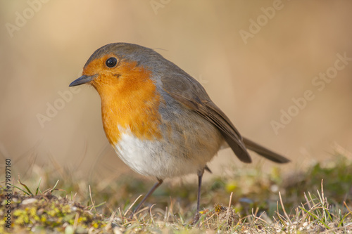 Poster Robin, (Erithacus rubecula) with a look of curiosity
