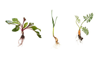 young beetroot, garlic, carrot in early growing stages, isolated