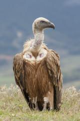 Spain, Griffon vulture in a detailed portrait