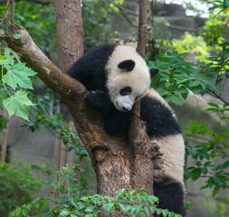 Panda bears playing in tree