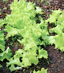 Plant leafy lettuce in the gardenbed