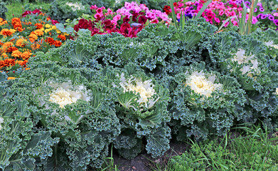 Decorative cabbage in the design of a flower bed